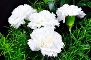white-carnations-white-carnation-t640
