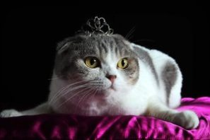 royal cat