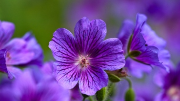 violet_flowers_close-up_petals