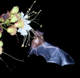 bat-nectar-feeding