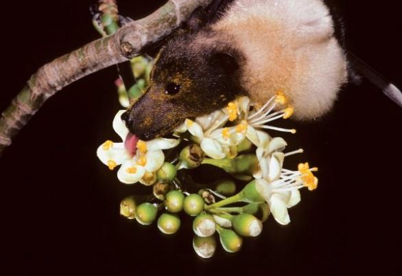 Bats pollination