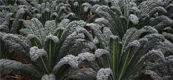 black kale 1