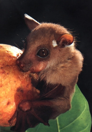 fruit-bat-eating-fruit