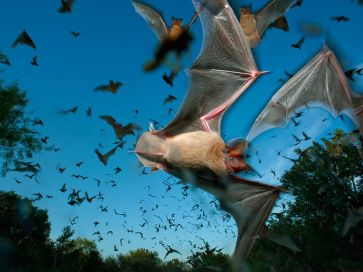 mexican-free-tailed-bats