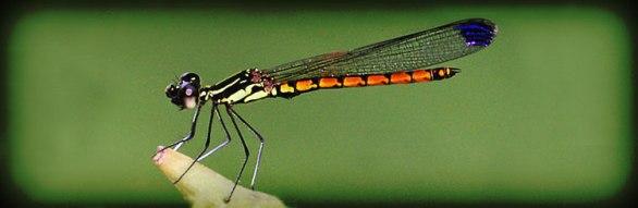 Rivulet Tiger Dragonfly